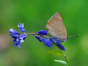 Small copper butterfly (Lycaena phlaeas) roosting on flower of common Milkwort, Bedfordshire, England, UK, June. Focus stacked image. - Andy Sands