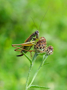 Roesel's bush cricket (Metrioptera roeselii) female short winged form on Knapweed, Hertfordshire, England, UK, August  -  Andy Sands