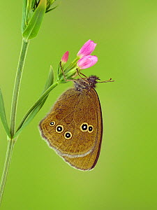 Ringlet butterfly (Aphantopus hyperantus) at rest on flower bud of Common century plant (Agave americana), Hertfordshire, England, UK, July - Focus Stacked Image  -  Andy Sands