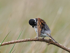 Reed bunting (Emberiza schoeniclus) male preening, Upper Teesdale, County Durham, England, UK, June  -  Andy Sands