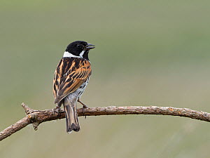 Reed bunting (Emberiza schoeniclus) male calling from on dead twig, Upper Teesdale, County Durham, England, UK, June  -  Andy Sands