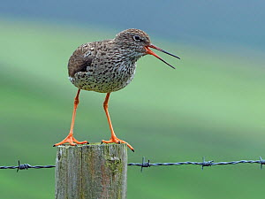 Redshank (Tringa totanus) calling from fence post, Upper Teesdale, County Durham, England, UK, June  -  Andy Sands
