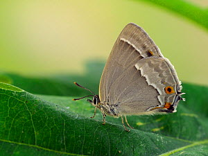 Purple hairstreak (Neozephyrus quercus) female with wings closed, Hertfordshire, England, UK, July  -  Andy Sands