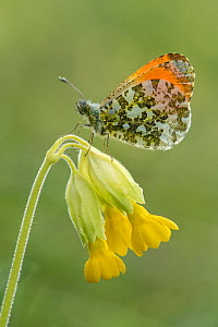 Orange tip butterfly (Anthocharis cardamines) Male perched on Cowslip (Primula veris), Bedfordshire, England, UK, May  -  Andy Sands