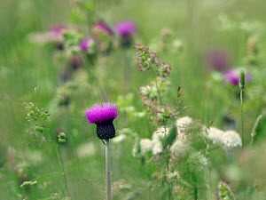 Melancholy thistle (Cirsium helenioides) flower isolated among grasses and other plants in upland meadow, Upper Teesdale, County Durham, England, UK, June - Andy Sands