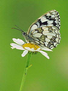 Marbled white butterfly (Melanargia galathea) on Oxeye daisy, Hertfordshire, England, UK - Focus Stacked Image - Andy Sands