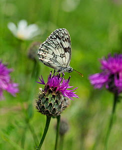 Marbled white butterfly (Melanargia galathea) feeding on Knapweed flower in meadow, Hertfordshire, England, UK - Focus Stacked Image - Andy Sands
