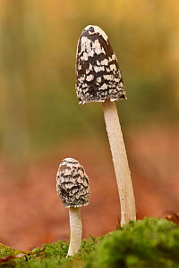 Magpie inkcap (Coprinopsis picacea) uncommon inkcap that usually grows singularly often under beech trees, Bedfordshire, England, UK, October . Focus stacked image  -  Andy Sands