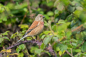 Common linnet (Linaria cannabina) perched among Brambles, Bedfordshire, England, UK, May - Andy Sands