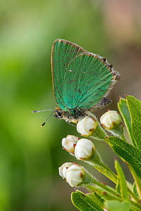 Green hairstreak butterfly (Callophrys rubi) on buds of Hawthorn flower, Hertfordshire, England, UK, May  -  Andy Sands