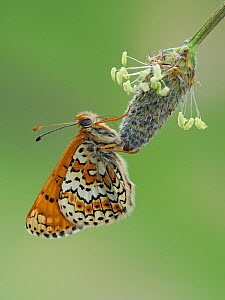 Glanville fritillary butterfly (Melitaea cinxia) roosting on larval foodplant Ribwort plantain (Plantago lanceolata), UK. Captive. Focus Stacked Image - Andy Sands