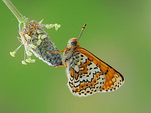 Glanville fritillary butterfly (Melitaea cinxia) roosting on larval foodplant Ribwort plantain (Plantago lanceolata), UK - Captive - Focus Stacked Image - Andy Sands