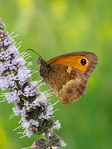 Gatekeeper / Hedge Brown butterfly (Pyronia tithonus) nectaring from flower of common Bistort, Hertfordshire, England, UK, July - Andy Sands