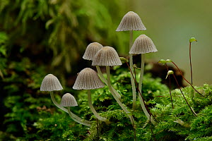 Fairy inkcap fungus (Coprinellus disseminatus) small group of this inkcap growing from mossy log, Oxfordshire, England, UK, October. Focus Stacked Image - Andy Sands