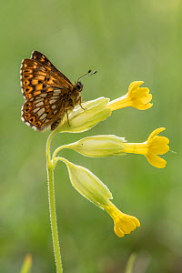 Duke of Burgundy butterfly (Hamearis lucina) resting on foodplant Cowslip (Primula veris), Bedfordshire, England, UK, May  -  Andy Sands