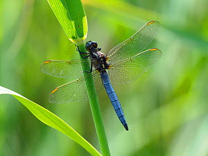 Keeled skimmer dragonfly (Orthetrum coerulescens) Perched on reed, Oxfordshire, England, UK, July  -  Andy Sands