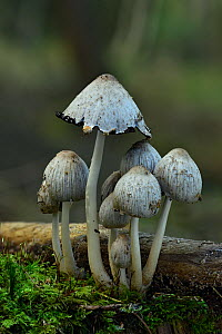 Common Deceiver (Laccaria laccata) group of toadstools at  various stages of development, Bedfordshire, England, UK, October  -  Andy Sands
