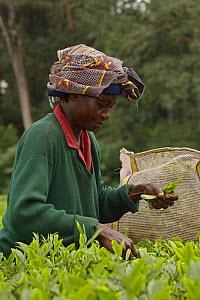 Woman picking tea  near Kakamega forest;  tea plantation used as buffer to protect natural forest, Kenya. July 2017. - John Cancalosi