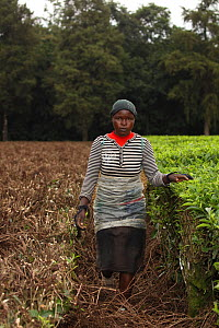 Woman tea picker near Kakamega forest;   tea plantation used as buffer to protect natural forest, Kenya. July 2017. - John Cancalosi