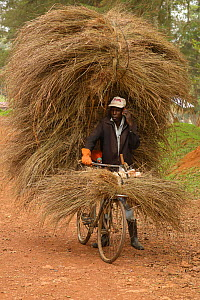 Luhya man cycling, carrying large load of grass for thatching building, Kakamega forest, Kenya, July 2017.  -  John Cancalosi
