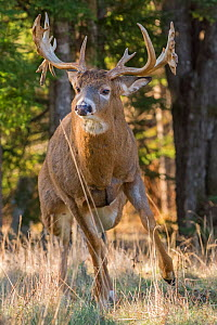 White-tailed deer (Odocoileus virginianus) stag, Acadia National Park, Maine, USA. November. - George  Sanker
