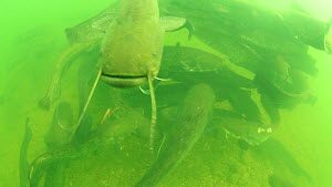 Group of Wels catfish (Silurus glanis) gathered in the River Rhone, France, August.  -  Remi Masson