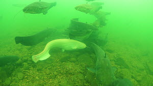 Group of Wels catfish (Silurus glanis), including an albino, gathered in the River Rhone, France, November. - Remi Masson