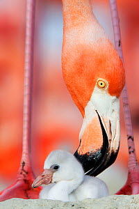 Caribbean Flamingo (Phoenicopterus ruber) preening chick in the breeding colony, Ria Lagartos Biosphere Reserve, Yucatan Peninsula, Mexico, June Finalist in the Portfolio Category of the Terre Sauvage...  -  Claudio  Contreras