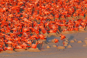 Aerial view of Caribbean Flamingo (Phoenicopterus ruber) breeding colony, Ria Lagartos Biosphere Reserve, Yucatan Peninsula, Mexico, May, Finalist in the Portfolio Category of the Terre Sauvage Nature...  -  Claudio  Contreras
