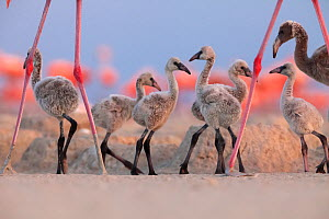 Caribbean Flamingo (Phoenicopterus ruber) chick group walking around the breeding colony, Ria Lagartos Biosphere Reserve, Yucatan Peninsula, Mexico, June, Finalist in the Portfolio Category of the Ter...  -  Claudio  Contreras