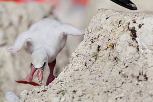 Caribbean Flamingo (Phoenicopterus ruber) chick age 5 days, walking around nest, breeding colony, Ria Lagartos Biosphere Reserve, Yucatan Peninsula, Mexico, June, Finalist in the Portfolio Category of... - Claudio  Contreras