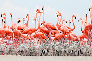 Caribbean Flamingo (Phoenicopterus ruber) chick crèche in front of attentive adult flamingo group, breeding colony, Ria Lagartos Biosphere Reserve, Yucatan Peninsula, Mexico, June, Finalist in the Po... - Claudio  Contreras