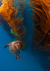Californian Sealion (Zalophus californianus) in kelp (Macrocystis pyrifera) forest, San Benito del Este Island, Baja California Peninsula Pacific Islands Biosphere Reserve, Baja California, Mexico, Ma...  -  Claudio  Contreras