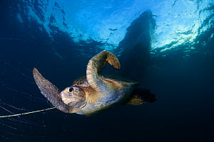 Green Turtle (Chelonia mydas) trapped in fishing net, Sea of Cortez (Gulf of California), Mexico, May, Third Place in the third National Contest 'Visions of our nature' organised by Mexico&#39... - Claudio  Contreras
