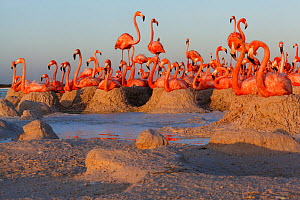 Caribbean Flamingo (Phoenicopterus ruber) breeding colony, Ria Lagartos Biosphere Reserve, Yucatan Peninsula, Mexico, June. Finalist in the Portfolio Category of the Terre Sauvage Nature Images Awards...  -  Claudio  Contreras