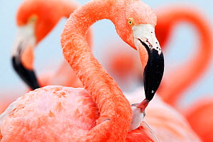 Caribbean Flamingo (Phoenicopterus ruber) feeding three day old chick at breeding colony, Ria Lagartos Biosphere Reserve, Yucatan Peninsula, Mexico, June, June, Finalist in the Portfolio Category of t...  -  Claudio  Contreras