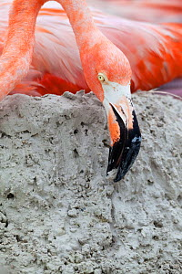 Caribbean Flamingo (Phoenicopterus ruber) building up mud whilst  brooding egg, breeding colony, Ria Lagartos Biosphere Reserve, Yucatan Peninsula, Mexico, June, Finalist in the Portfolio Category of...  -  Claudio  Contreras