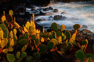 Prickly pear (Opuntia sp.) growing on coastline, Socorro Island, Revillagigedo Archipelago National Park (Socorro Islands), Pacific Ocean, Western Mexico, November, Honorary Mention in the third natio... - Claudio  Contreras