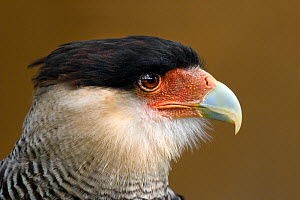 Southern crested caracara (Polyborus plancus) adult head portrait  -  Melvin Grey