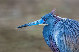 Tricolored heron (Egretta tricolor) male in full breeding plumage, Fort de Soto, Florida, USA. April.  -  Melvin Grey
