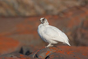 Rock Ptarmigan (Lagopus muta) adult male in winter plumage, beginning summer moult, standing on rocks covered in orange lichen, Churchill, Manitoba, Canada. June. - Melvin Grey