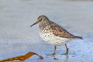 Purple sandpiper (Calidris maritima) female in summer plumage, feeding among kelp on the tideline hile on migration to northern breeding grounds, North Uist, Outer Hebrides, Scotland. May. - Melvin Grey