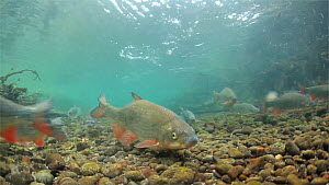 Nase (Chondrostoma nasus) migrating upriver to spawn, River Rhone,  Rhone-Alpes, France, April. - Remi Masson