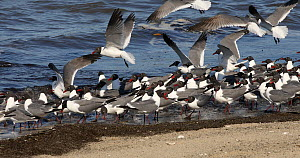 Flock of Laughing gulls (Leucophaeus atricilla) feeding on Atlantic horseshoe crab (Limulus polyphemus) eggs, Delaware bay, New Jersey, June.  -  John Cancalosi