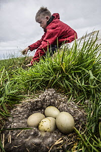 Man collecting Common eider (Somateria mollissima) down from nest, Norway, June 2014.  -  Pal Hermansen
