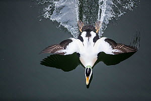 Common eider (Somateria mollissima) male landing, seen from above,  Trondelag Norway, January. Winner of the Portfolio Award of the Terre Sauvage Nature Images Awards Competition 2017.  -  Pal Hermansen