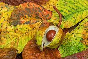 Horse chestnut (Aesculus hippocastanum) Clare Glen, County Armagh, Northern Ireland. October.  -  Robert  Thompson