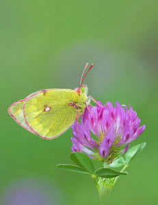 Mountain clouded butterfly (Colias phicomone) on clover flower, Stelvo Pass, Alps, Italy, June.  -  Robert  Thompson
