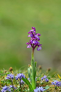 Green winged orchid (Anacamptis morio) Killard Point NNR, County Down, Northern Ireland, May.  -  Robert  Thompson