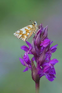 Oburthers grizzled skipper (Pyrgus armoicanus) resting on orchid, Santa Caterina di Valfurva, Alps, Italy - Robert  Thompson